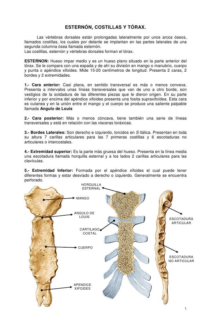 ESTERNÓN, COSTILLAS Y TÓRAX.      Las vértebras dorsales están prolongadas lateralmente por unos arcos óseos,llamados cost...