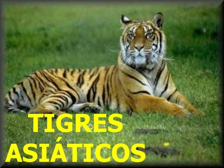 Os tigres asáticos