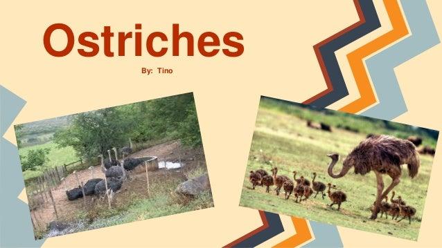 OstrichesBy: Tino