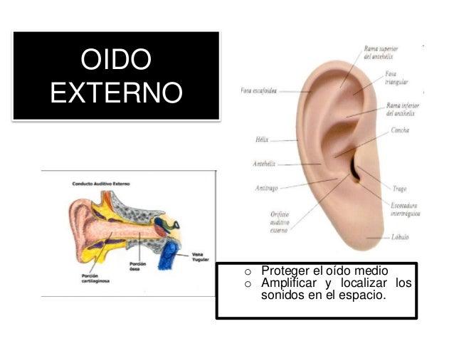 OIDO EXTERNO o Proteger el oído medio o Amplificar y localizar los sonidos en el espacio.