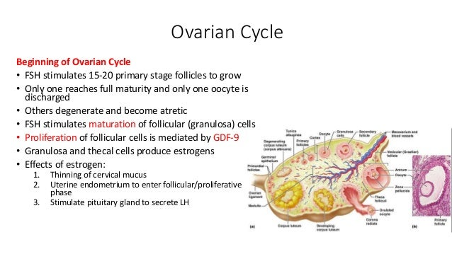 Ovulation fertilization implantation 1 st week