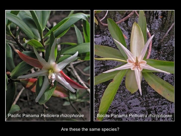 Pacific Vs Caribbean Pelliciera Rhizophorae Flowers