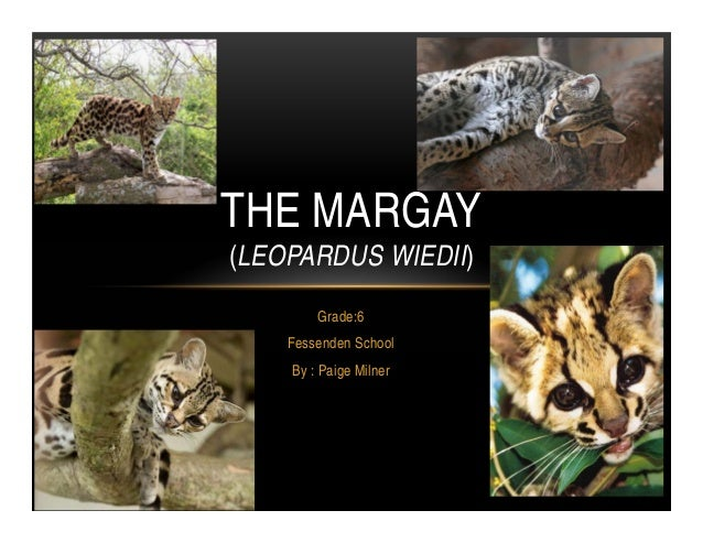 THE MARGAY(LEOPARDUS WIEDII)        Grade:6    Fessenden School    By : Paige Milner