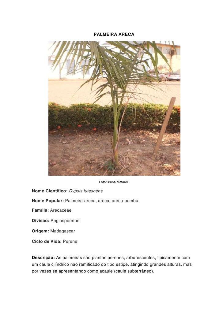 PALMEIRA ARECA<br />Foto:Bruna Matarolli<br />Nome Científico:Dypsis lutescens<br />Nome Popular:Palmeira-areca, areca, ...