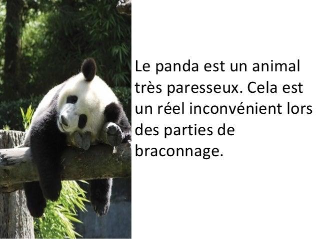 Le panda est un animal très paresseux. Cela est un réel inconvénient lors des parties de braconnage.
