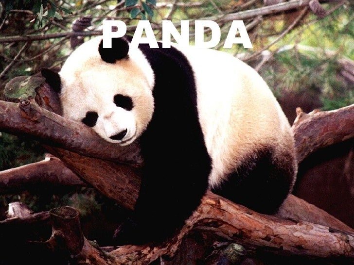 Panda.ppt esther