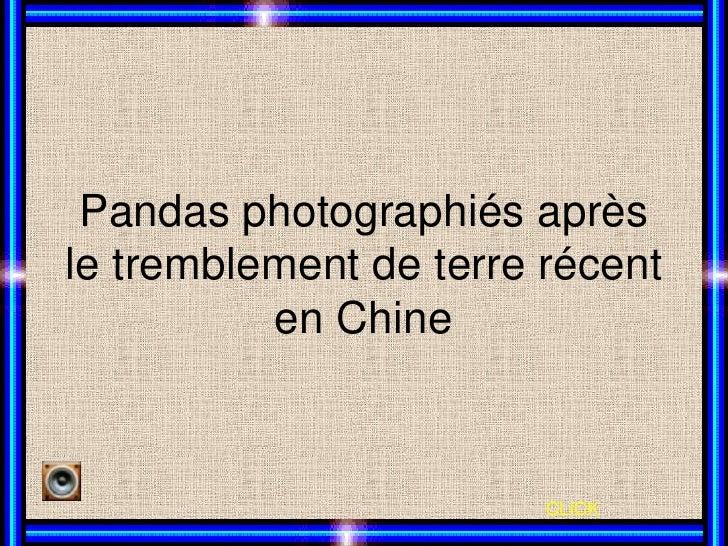 Pandas photographiés aprèsle tremblement de terre récent          en Chine                        CLICK