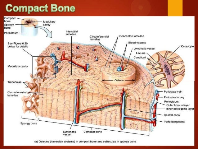 Similiar The Is Bigger Than The Compact Bone Osteon Keywords