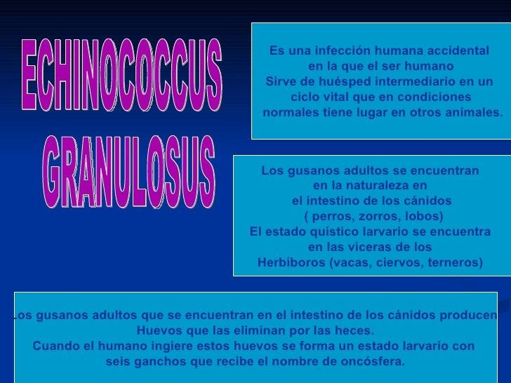 Es una infección humana accidental                                               en la que el ser humano                  ...