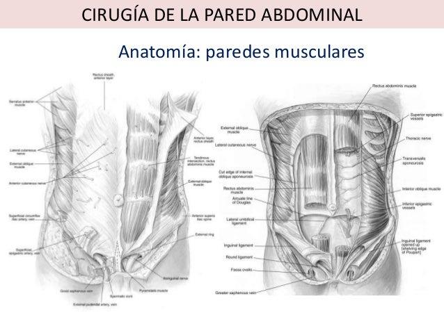 CIRUGÍA DE LA PARED ABDOMINAL   Anatomía: paredes musculares