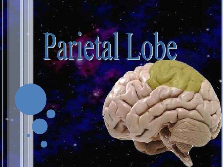 Parietal lobe 2010