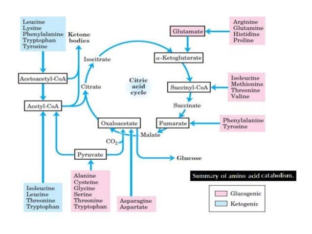amino acid catabolism leading to acetoacetate formation