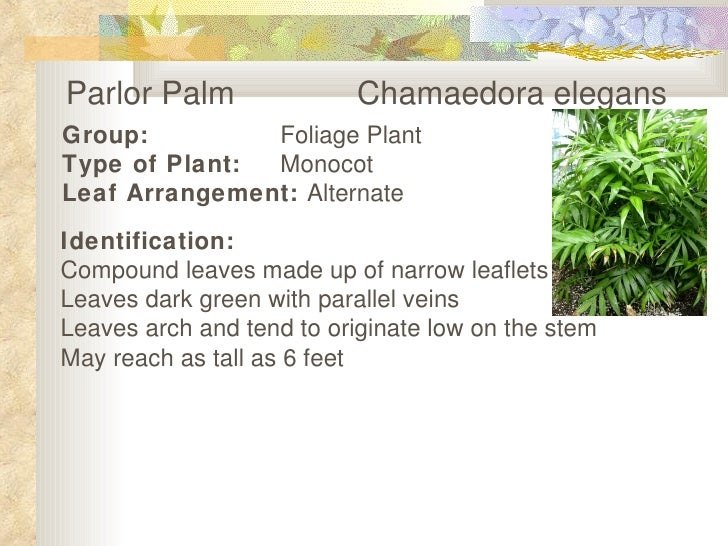 Parlor Palm  Chamaedora elegans   Group: Foliage Plant Type of Plant: Monocot Leaf Arrangement:  Alternate   Identificatio...