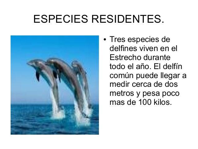 ESPECIES RESIDENTES. ● Tres especies de delfines viven en el Estrecho durante todo el año. El delfín común puede llegar a ...