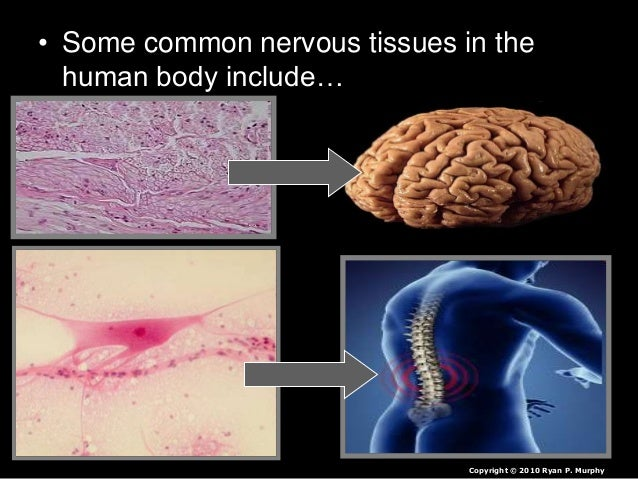 • Some common nervous tissues in the human body include… Copyright © 2010 Ryan P. Murphy