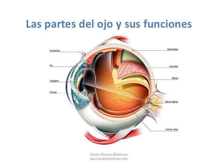 Partes del ojo for Bedroom y sus partes en ingles