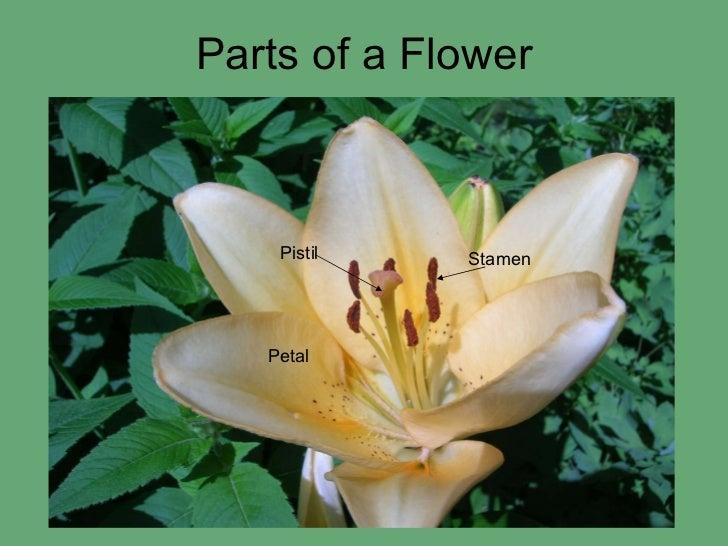 Parts of a Flower Petal Pistil Stamen