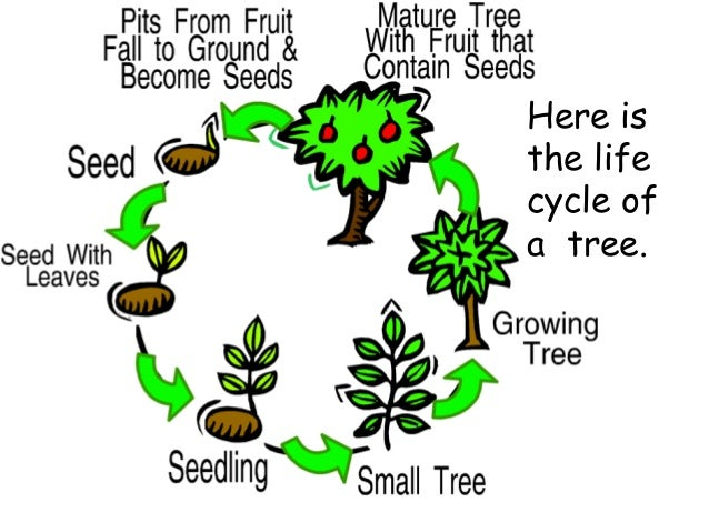 kindergarten plant life cycle science plant plant life ...
