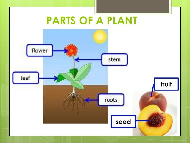 Plant anatomy for kids
