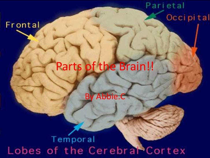 Parts of the Brain!!     By Abbie.C