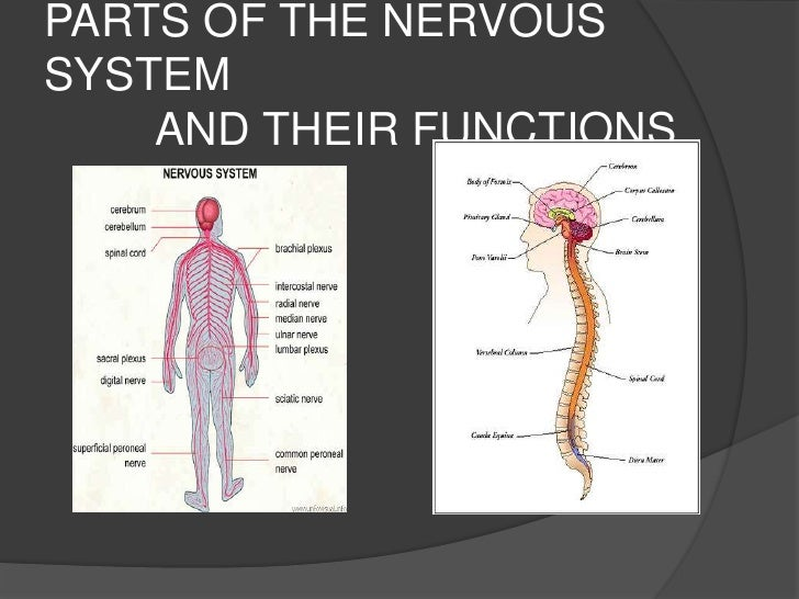 PARTS OF THE NERVOUS SYSTEM          AND THEIR FUNCTIONS<br />
