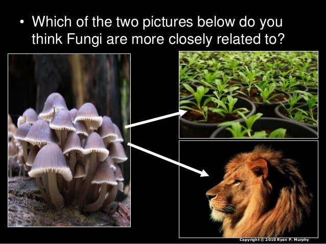 • Which of the two pictures below do you think Fungi are more closely related to? Copyright © 2010 Ryan P. Murphy
