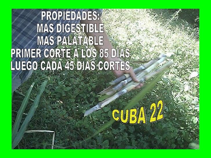 PROPIEDADES: MAS DIGESTIBLE MAS PALATABLE PRIMER CORTE A LOS 85 DIAS LUEGO CADA 45 DIAS CORTES CUBA 22
