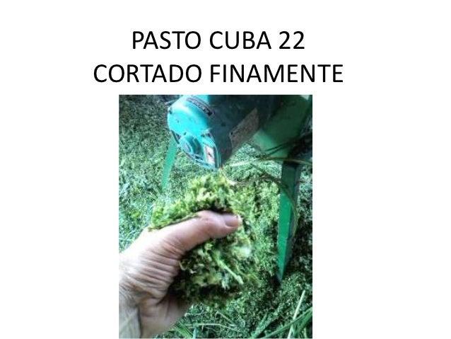 PASTO CUBA 22CORTADO FINAMENTE