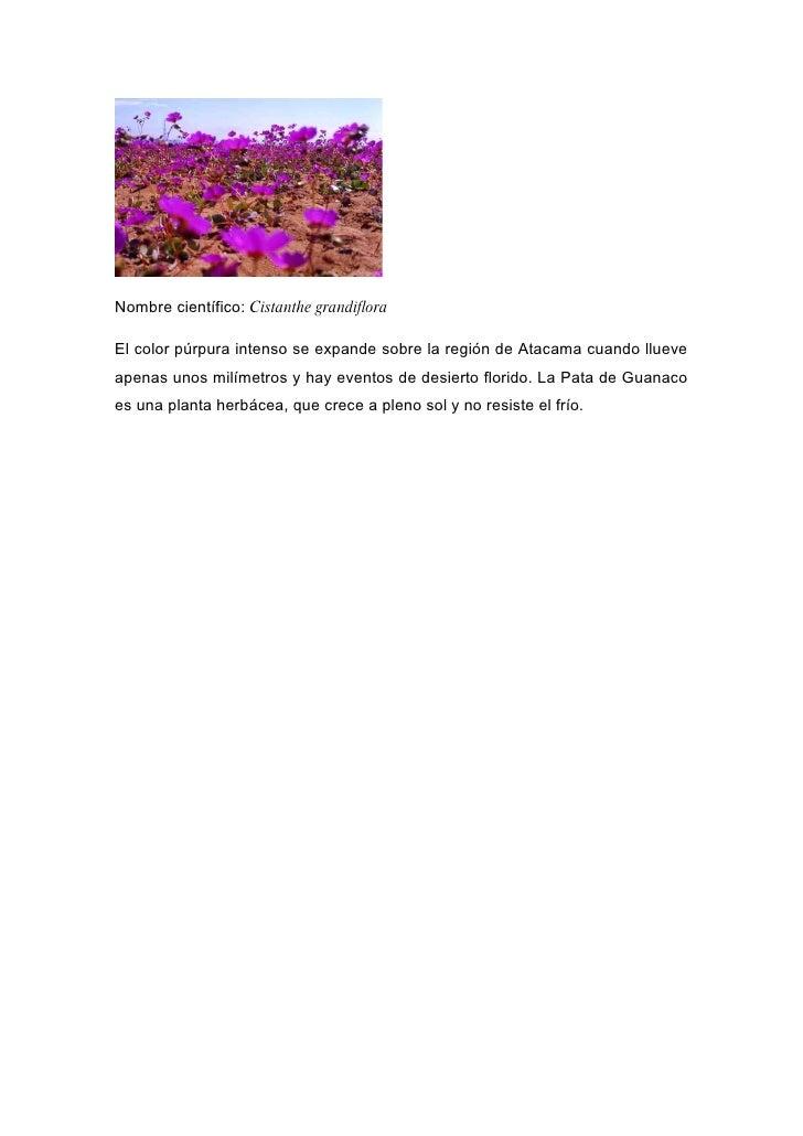 Nombre científico: Cistanthe grandiflora  El color púrpura intenso se expande sobre la región de Atacama cuando llueve ape...
