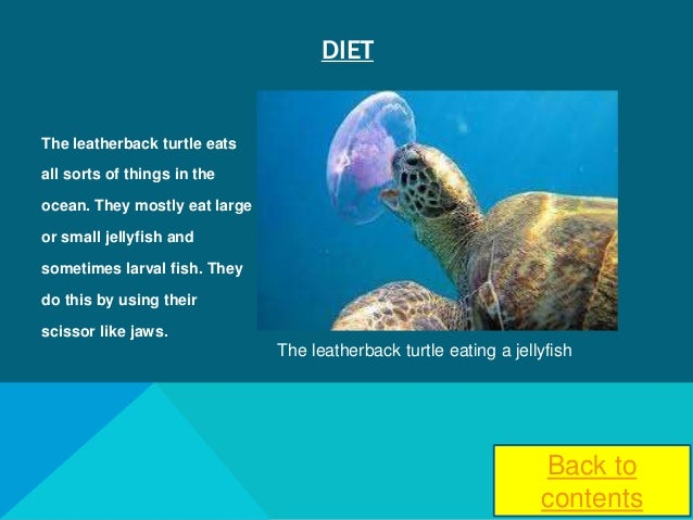 What do sea turtle eat
