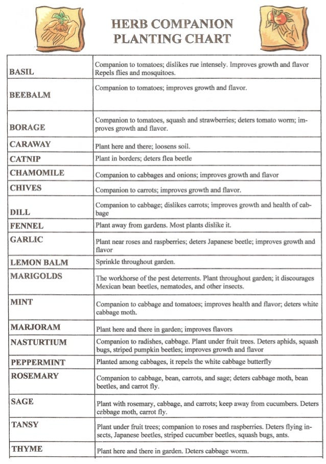 HERB COMPANION                    PLANTING CHART              Companion to tomatoes; dislikes rue intensely. Improves grow...