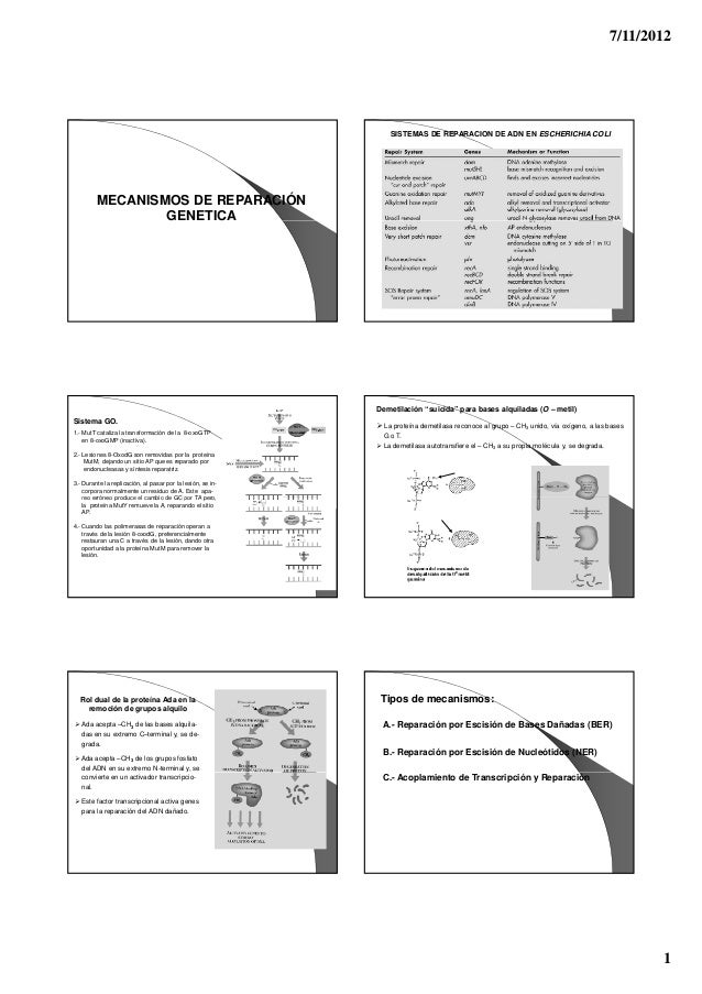 7/11/2012 1 MECANISMOS DE REPARACIÓN GENETICA SISTEMAS DE REPARACION DE ADN EN ESCHERICHIA COLI Sistema GO. 1.- MutT catal...