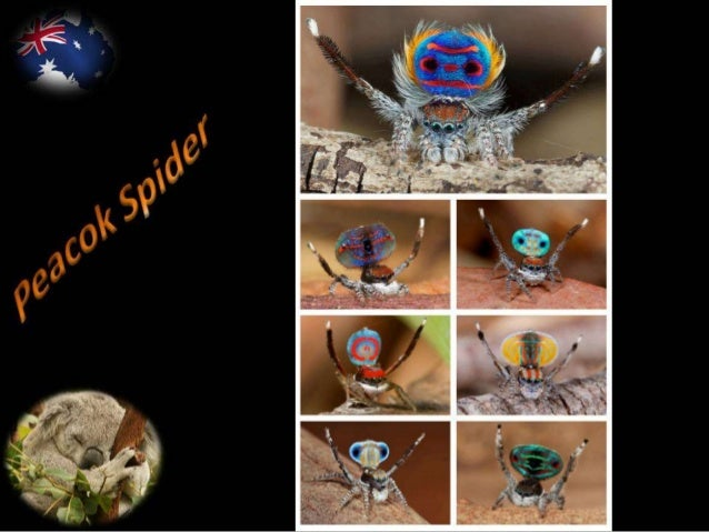 Australia is home to many strange and unusual animals. Australia is also home to the tiny Peacock Spider, whose behavior a...