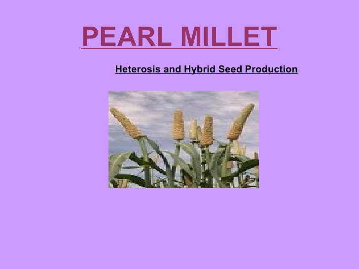 PEARL MILLET  Heterosis and Hybrid Seed Production