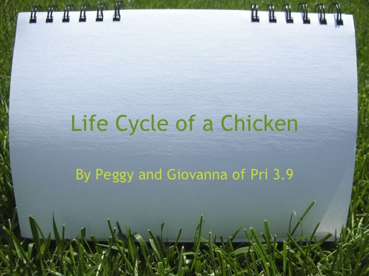 Life Cycle of a Chicken By Peggy and Giovanna of Pri 3.9