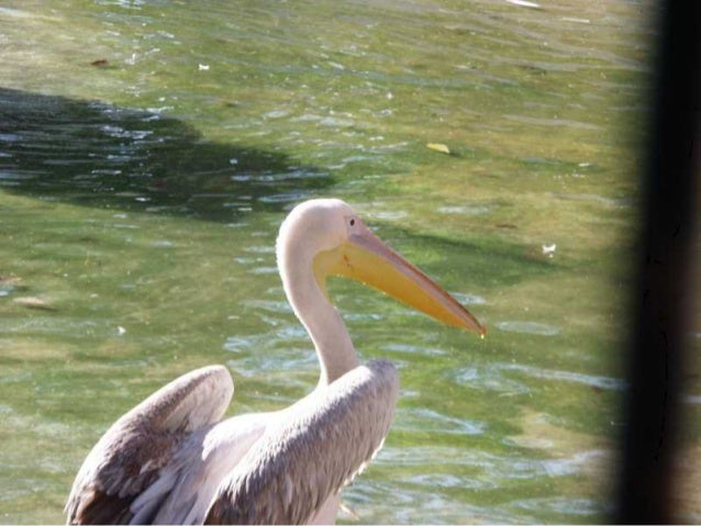 The Egyptian Pelican