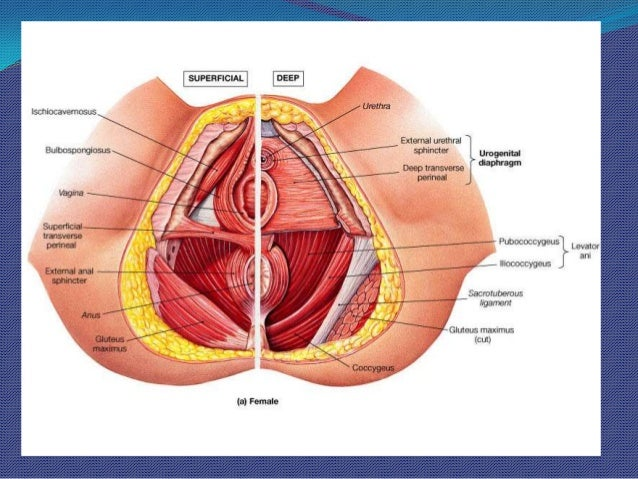 Surgical Anatomy (Pelvic Organ Prolapse)