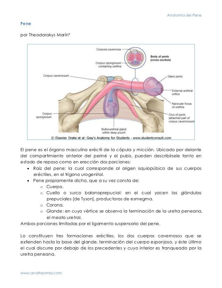 Anatomía del PenePenepor Theodorakys Marín*El pene es el órgano masculino eréctil de la cópula y micción. Ubicado por dela...