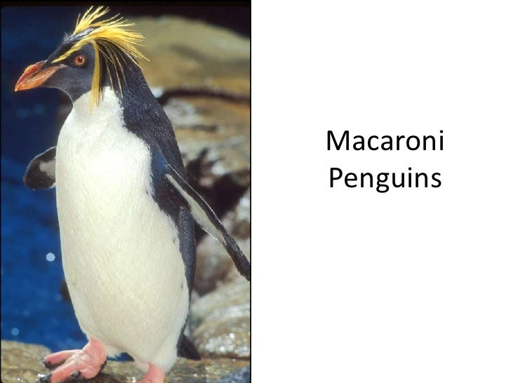 Macaroni Penguins<br />