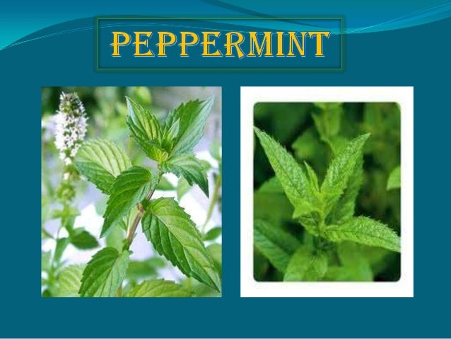  Peppermint (Mentha × piperita), also known as M. balsamea Wild.) is a hybrid mint, a cross between watermint and spearmi...