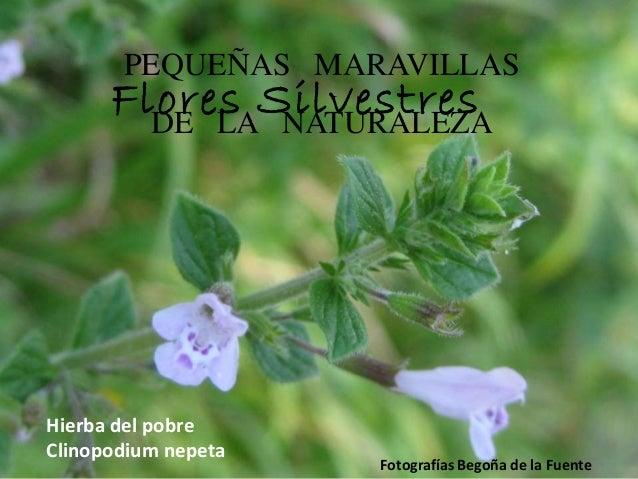 PEQUEÑAS MARAVILLAS DE LA NATURALEZA Fotografías Begoña de la Fuente Hierba del pobre Clinopodium nepeta Flores Silvestres