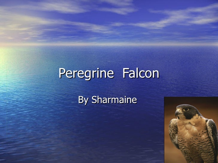 Peregrine  Falcon Sharmaine
