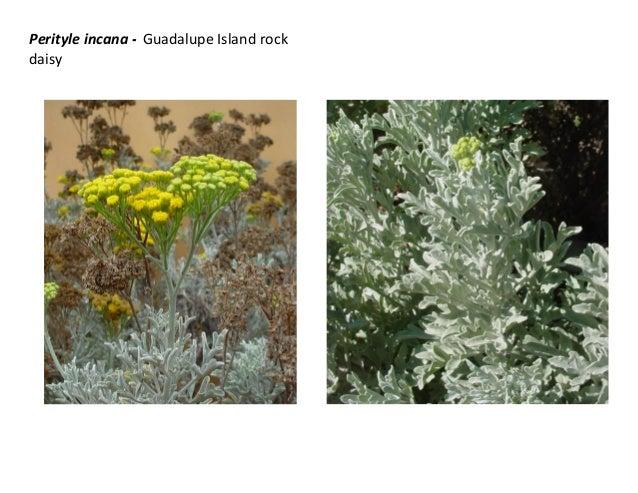 Perityle incana - Guadalupe Island rock daisy