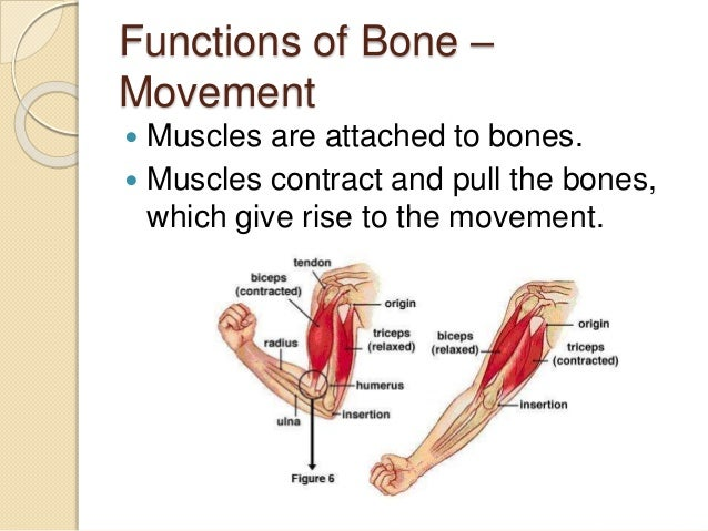 functions and functions of bones and muscles Vitamin c plays an essential role in musculoskeletal health the tissues that  make up your muscles, joints and bones all contain collagen, a structural protein.