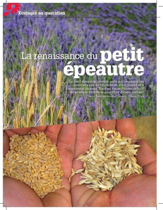 Écologie Ecologie au quotidien  petit épeautre  La renaissance du  Le petit épeautre, céréale qui a accompagné les premier...
