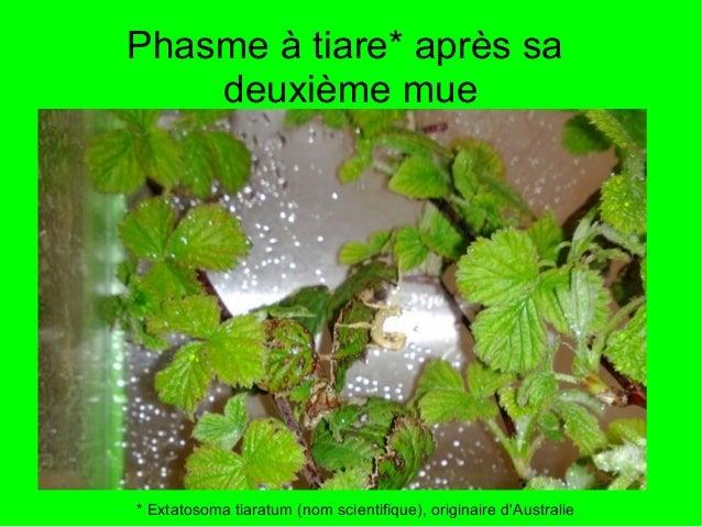 Phasme à tiare* après sa    deuxième mue* Extatosoma tiaratum (nom scientifique), originaire dAustralie