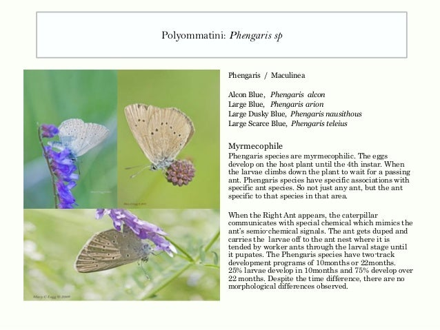 Phengaris / Maculinea Alcon Blue, Phengaris alcon Large Blue, Phengaris arion Large Dusky Blue, Phengaris nausithous Large...
