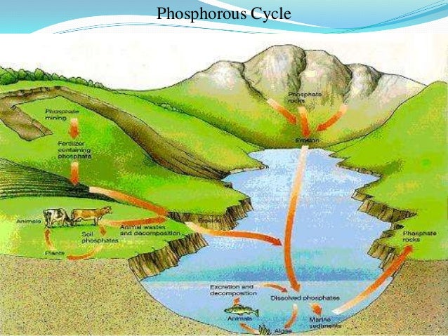 Phosphorus Cycle Explanation A biogeochemical cycle