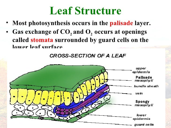Plant Leaf - double palisade layer?