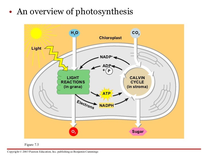 stages of photosynthesis Stages of photosynthesis photosynthesis occurs in two stages, which the chloroplast: theater for photosynthesis the theater where both stages of photosynthesis take place is the chloroplast.
